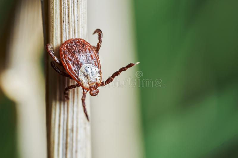 Ixodic tick crawling down a blade of a dry grass. Macro photography. Ixodic tick crawling down a blade of a dry grass in nature. Macro photography stock photography