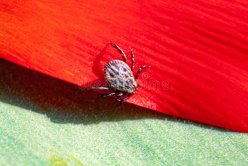 Ixodic-Zecke auf einer roten Blume lizenzfreie stockbilder