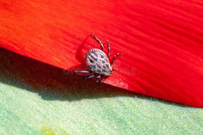 Ixodictik op een rode bloem royalty-vrije stock afbeeldingen