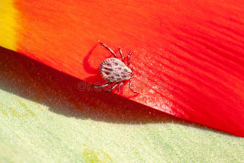 Ixodictik op een rode bloem stock fotografie