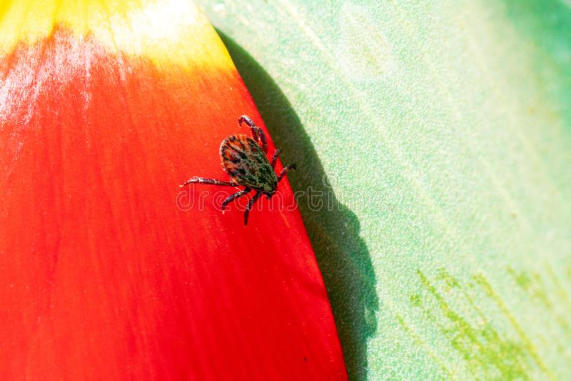 Ixodictik op een rode bloem stock foto