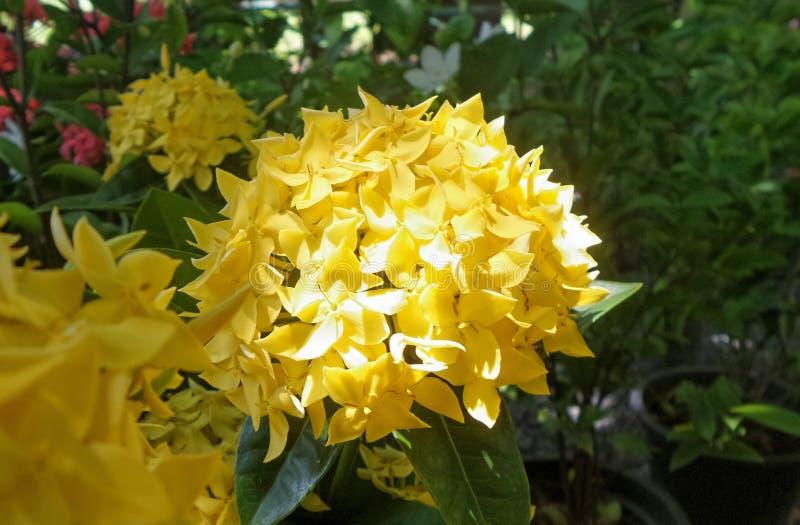 Ixora amarillo floreciente florece en el jardín en Tailandia imagenes de archivo