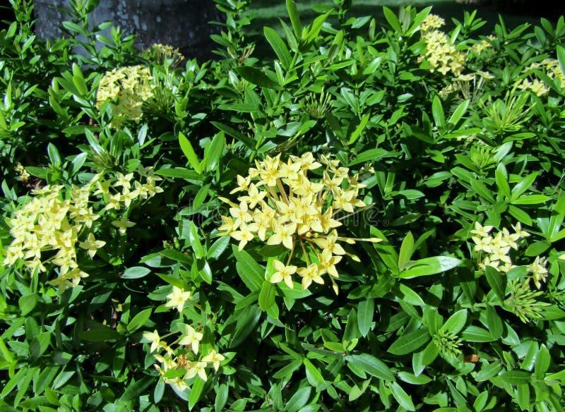 Ixora amarillo o flores del oeste del jazmín indio fotos de archivo libres de regalías