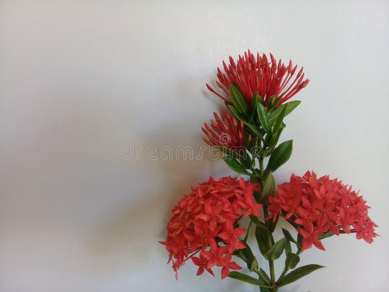 Ixora blomma som isoleras med vit bakgrund arkivfoto
