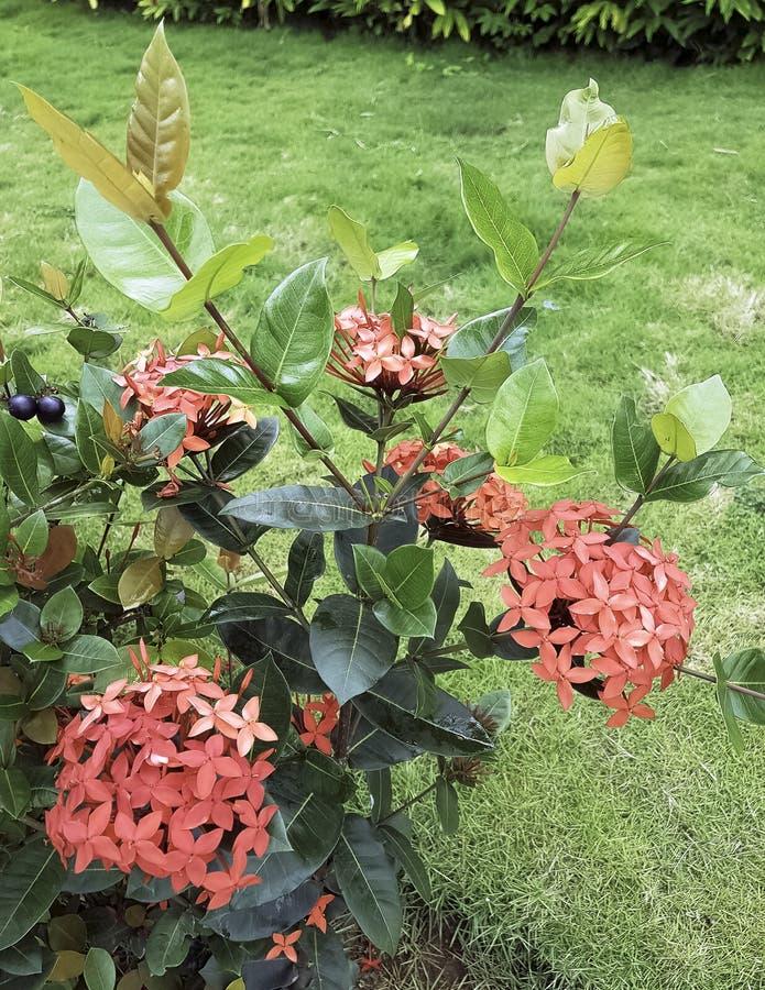 Ixora chinensis ist eine Klasse von Blütenpflanzen in der Rubiaceaefamilie lizenzfreies stockfoto