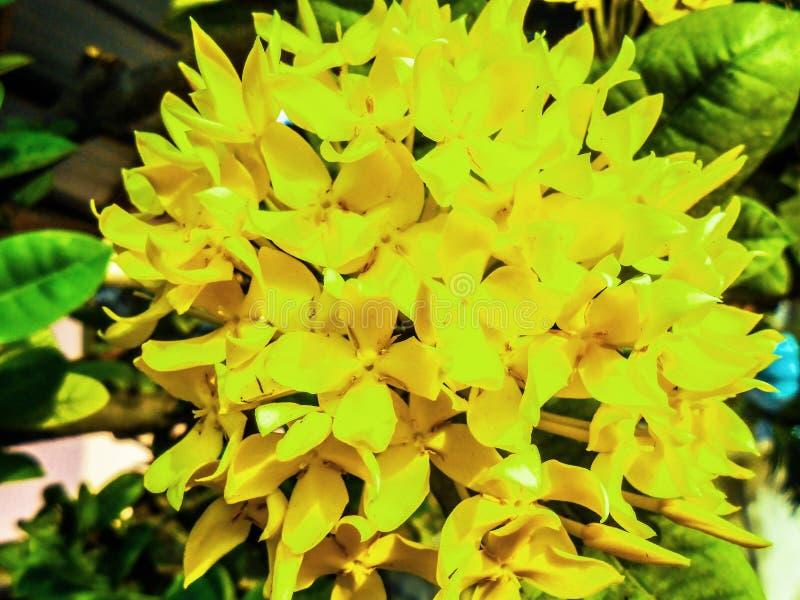 Ixora chinensis lamk Ixora spp lizenzfreies stockfoto