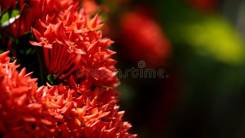 Ixora chinensis Lamk Ixora spp. Ixora lobbii Loudon Rote Blumen blühen in schöne Bouquets auf grünem Hintergrund lizenzfreie stockbilder