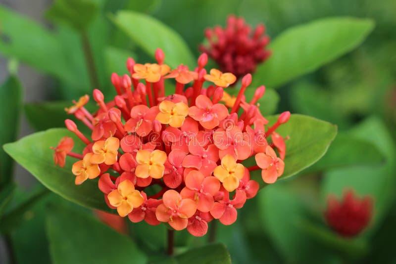 Ixora chinensis. The Ixora chinensis in the park stock image