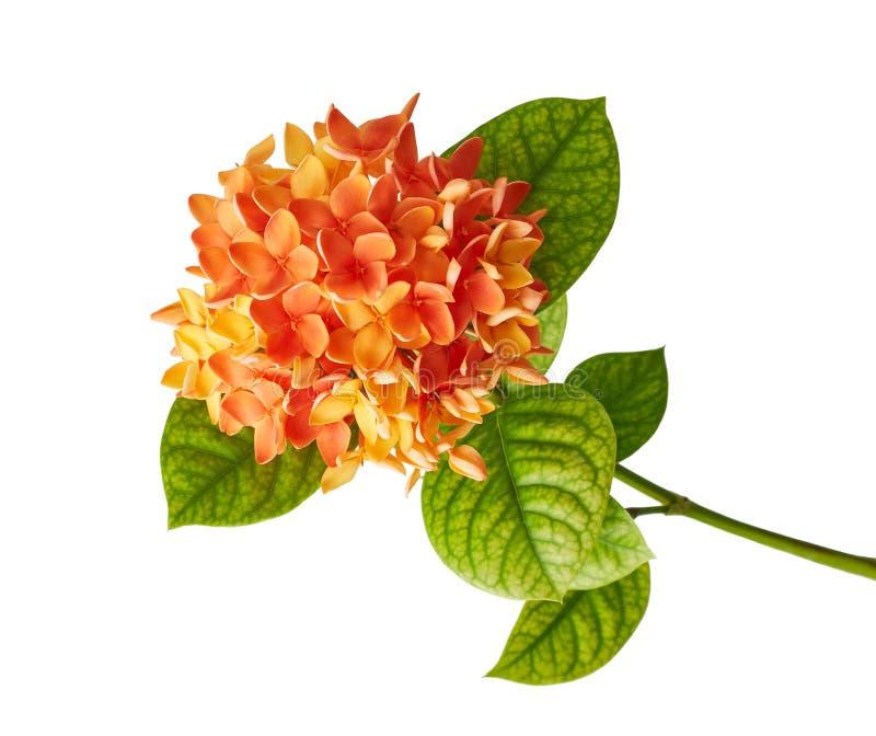 Ixora coccinea kwiat, Pomarańczowy ixora z liśćmi odizolowywającymi na białym tle z ścinek ścieżką, fotografia stock