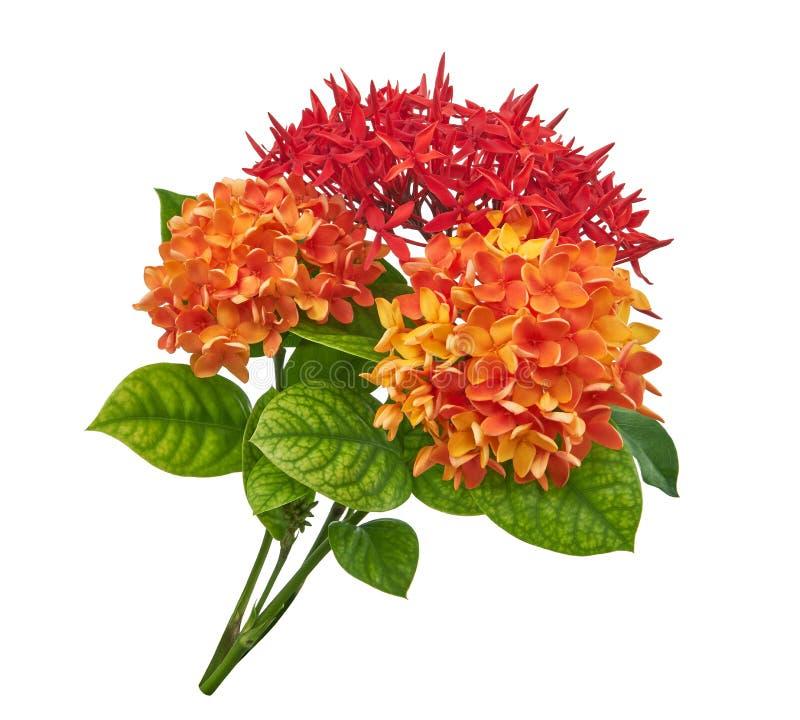 Ixora coccinea kwiat, Pomarańczowy ixora z liśćmi odizolowywającymi na białym tle z ścinek ścieżką, fotografia royalty free
