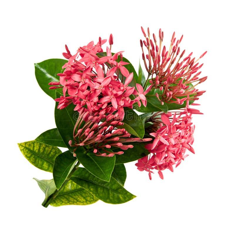 Ixora coccinea kwiat, Różowy ixora z liśćmi odizolowywającymi na białym tle z ścinek ścieżką, zdjęcie stock