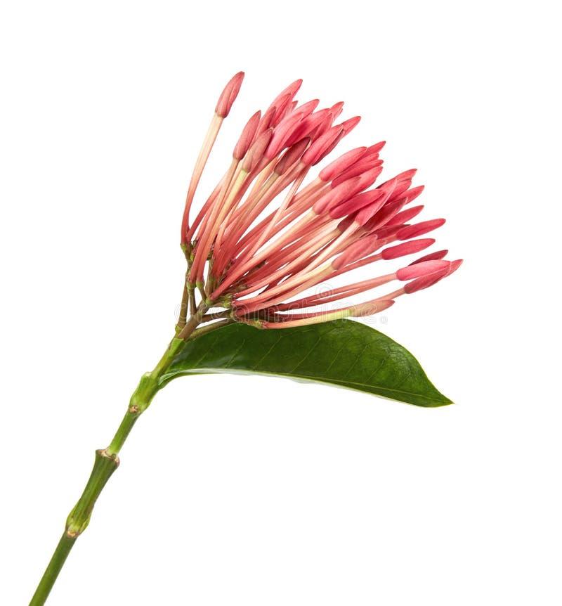 Ixora coccinea kwiat, Różowy ixora z liśćmi odizolowywającymi na białym tle obrazy stock