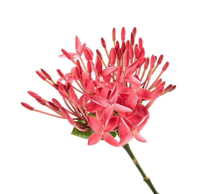 Ixora coccinea kwiat, Różowy ixora z liśćmi odizolowywającymi na białym tle zdjęcie royalty free