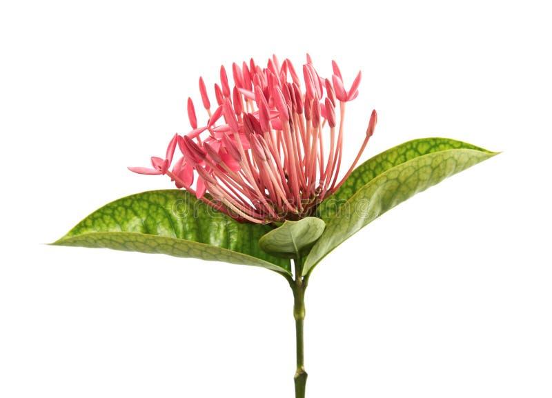 Ixora coccinea kwiat, Różowy ixora z liśćmi odizolowywającymi na białym tle obraz stock