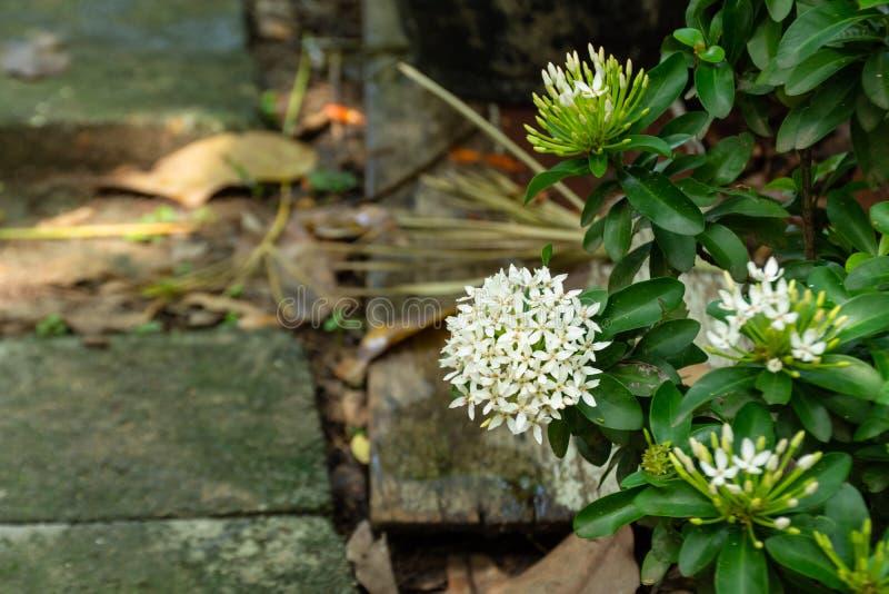 Ixora finlaysoniavägg före dettaG Universitetsläraren eller Siamese vita Ixora, blommorna är doftande royaltyfri bild