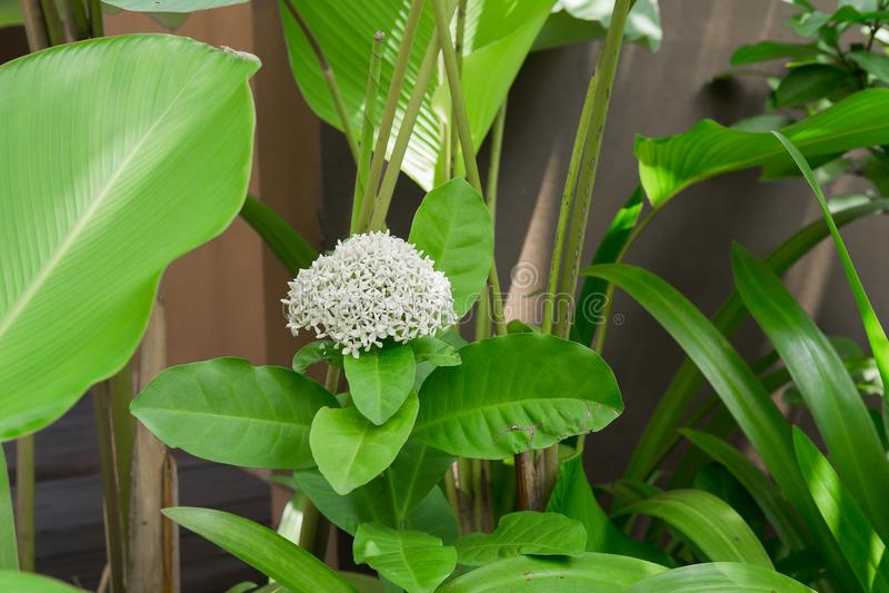 Ixora florece en el jardín en el parque imagen de archivo