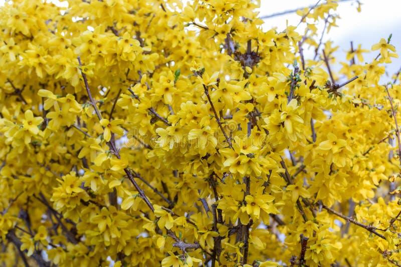 Ixora flower.Yellow spike flower. King Ixora blooming stock photos