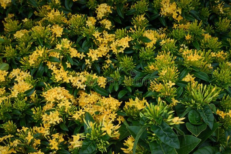 Ixora flower. Yellow spike flower. King Ixora blooming Ixora chinensis. Rubiaceae flower. Ixora coccinea flower stock image