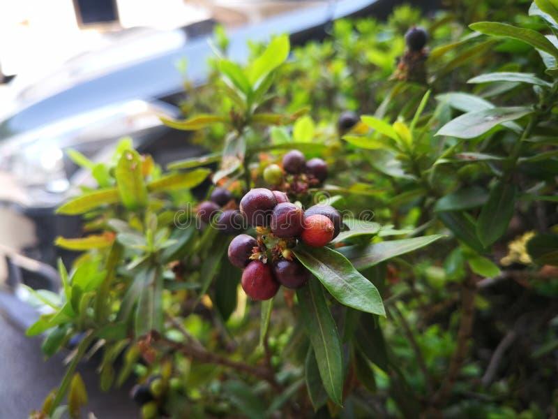 Ixora frukter är blom i sommaren royaltyfria bilder