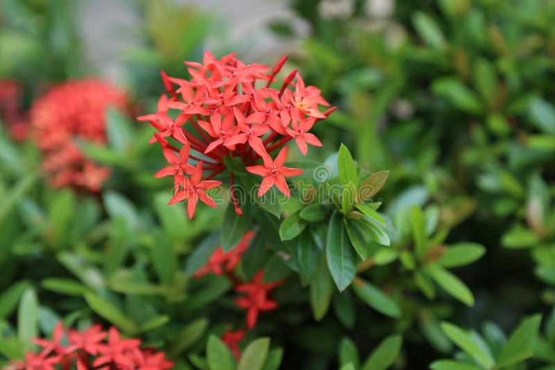 Ixora royalty free stock photo