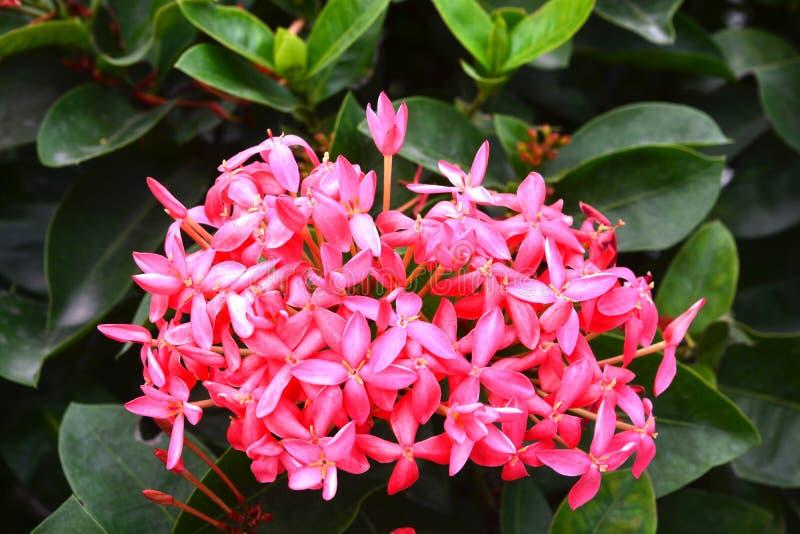 Ixora ist eine Klasse von Blütenpflanzen in der Rubiaceaefamilie stockbild