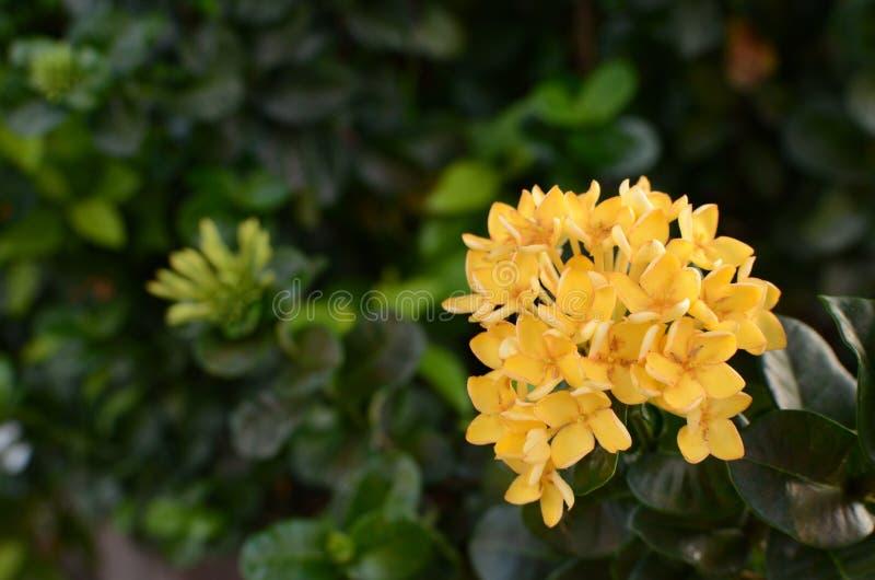 Ixora jaune image stock