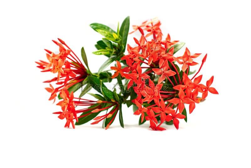 Ixora kwiat lub kolca kwiat odizolowywający na białym tle fotografia stock