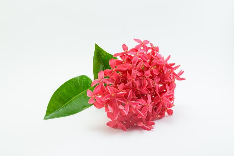 Ixora kwiat Na Białym tle zdjęcia royalty free