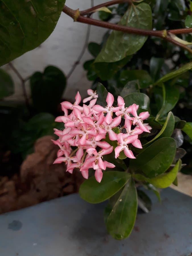 Ixora kwiatu ` światło - różowy ` zdjęcia stock