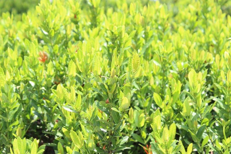 Ixora leafes, Ixora i trädgårds- utomhus- arkivbilder