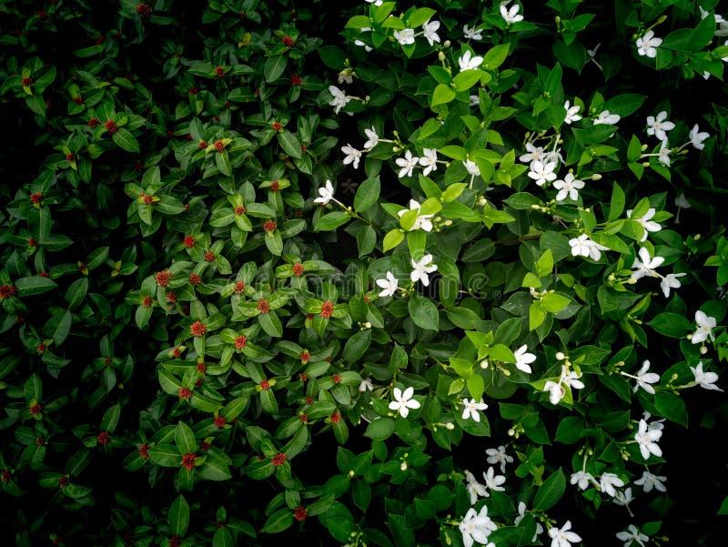 Ixora rojo y Gardenia Flowers Blooming blanca imagen de archivo