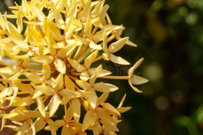 Ixora y sol amarillos en jardín imagen de archivo