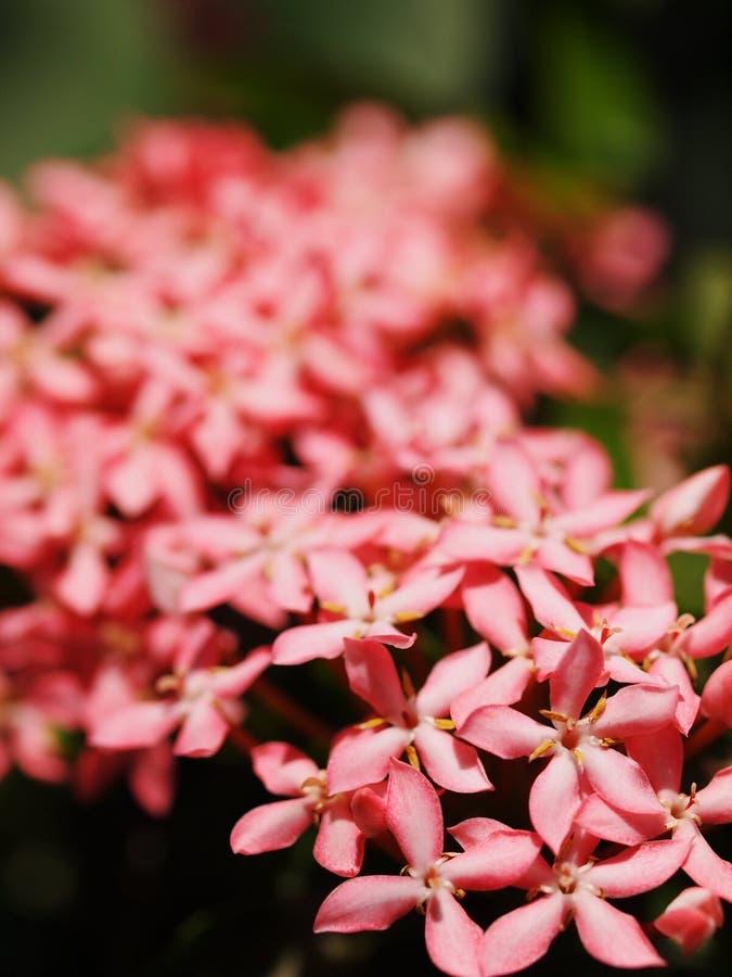 Ixoras cor-de-rosa, flores minúsculas pequenas coloridas bonitas nos grupos com o ambiente natural exterior imagens de stock royalty free