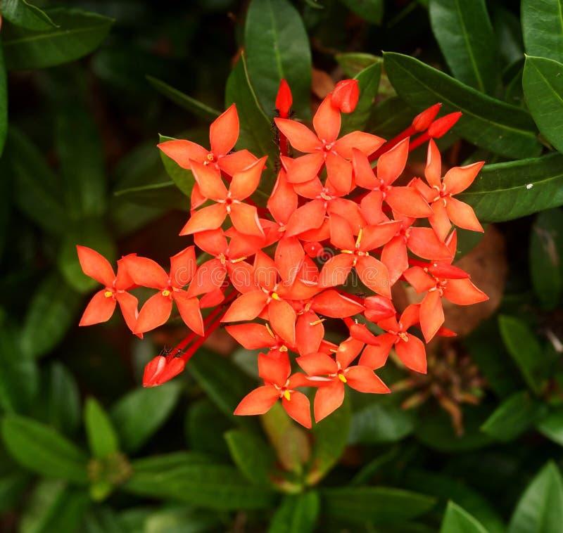 Ixoras, flores minúsculas pequenas bonitas fotografia de stock