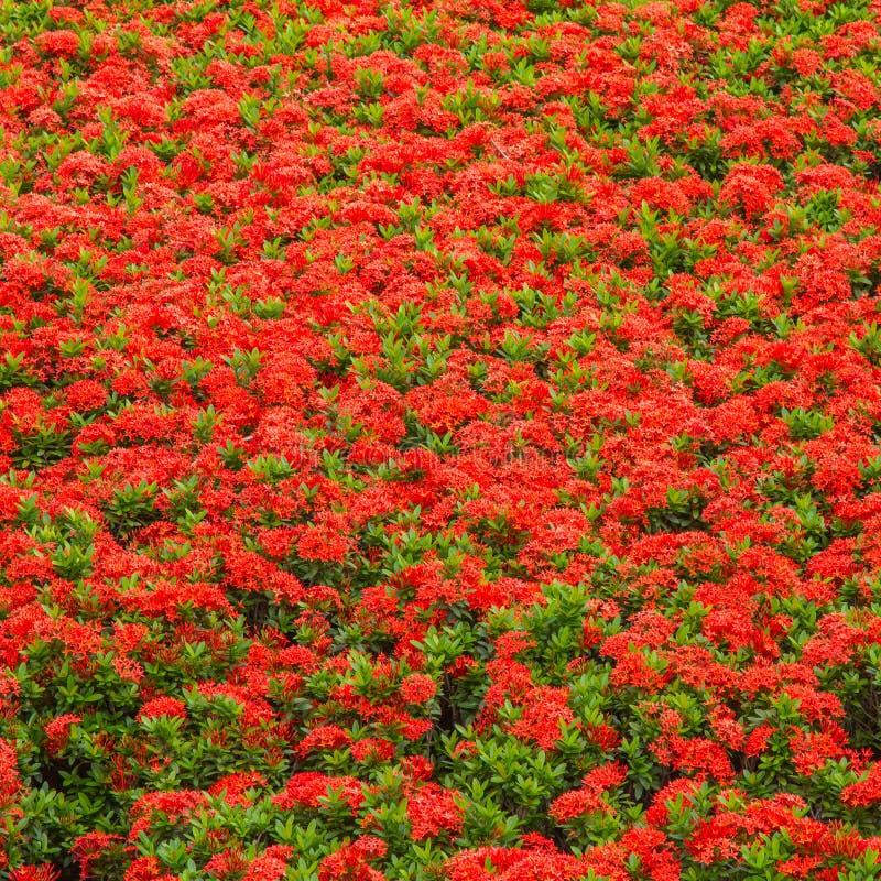 Ixoras, flores minúsculas pequenas vermelhas bonitas nos grupos imagem de stock royalty free
