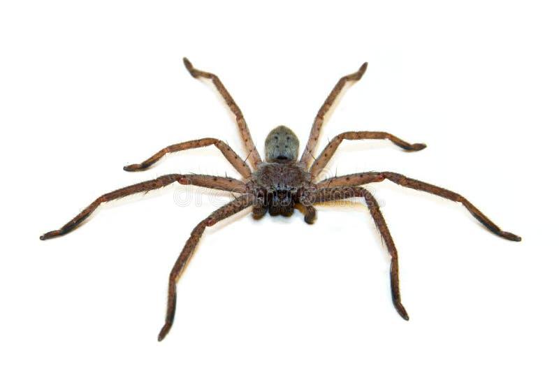 Jäger-Spinne stockfotos