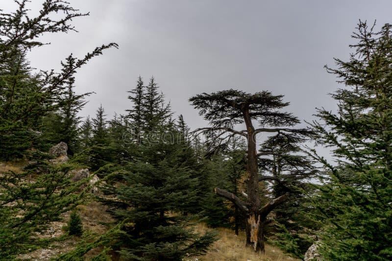 2000 Jährige Zeder im Libanon, wie in der Bibel gemerkt lizenzfreie stockfotografie