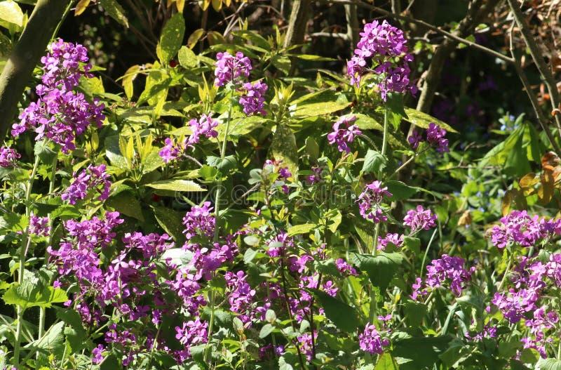 Jährliche Ehrlichkeit, Lunaria annua, violette Blumen stockbilder