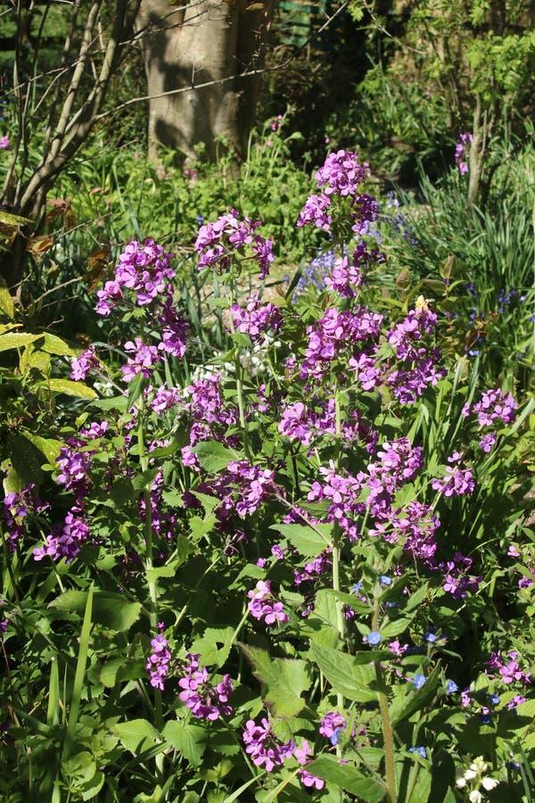 Jährliche Ehrlichkeit, Lunaria annua, violette Blumen lizenzfreies stockbild