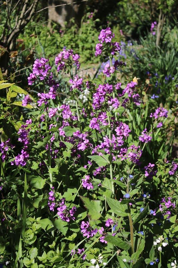 Jährliche Ehrlichkeit, Lunaria annua, violette Blumen lizenzfreie stockfotografie