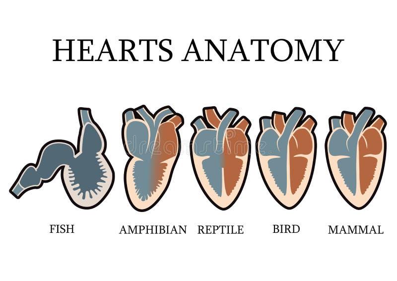 Jämförelse av hjärt- anatomi av vertebrater stock illustrationer