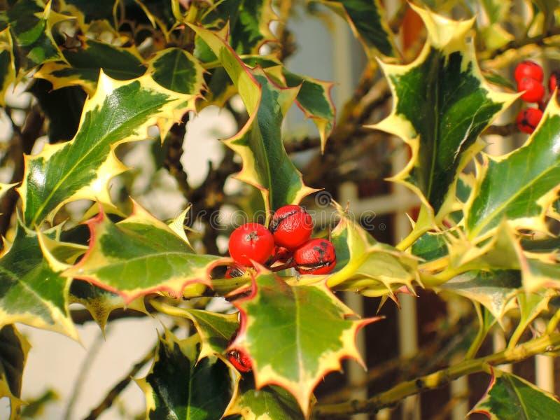 Järnek Ilexaquifolium royaltyfria foton