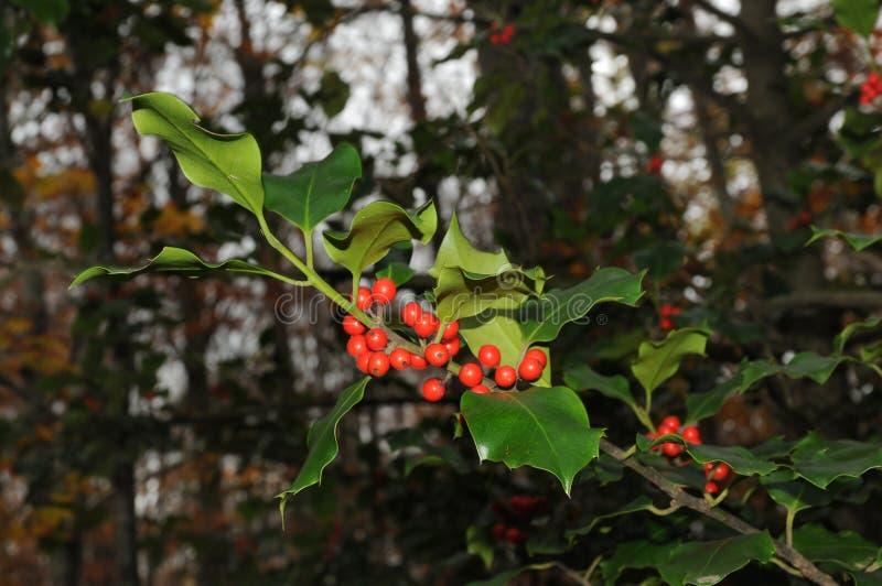 Järneklövverk med mognar röda bär i en skogIlexaquifolium eller juljärnek italy arkivbilder