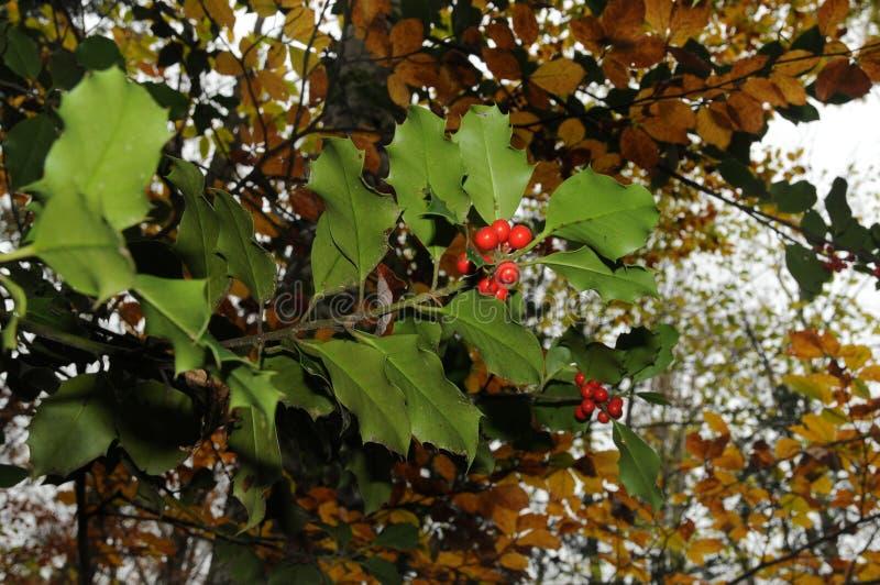 Järneklövverk med mognar röda bär i en skogIlexaquifolium eller juljärnek italy royaltyfria bilder