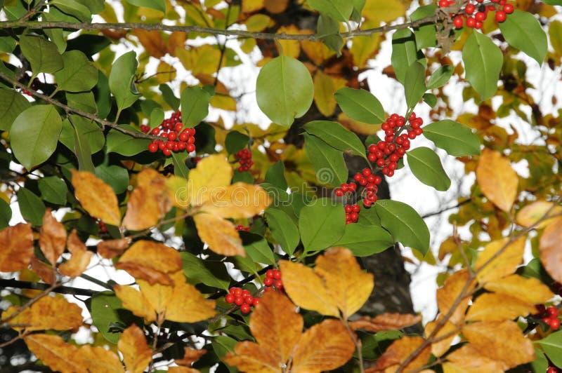 Järneklövverk med mognar röda bär i en skogIlexaquifolium eller juljärnek italy royaltyfri foto