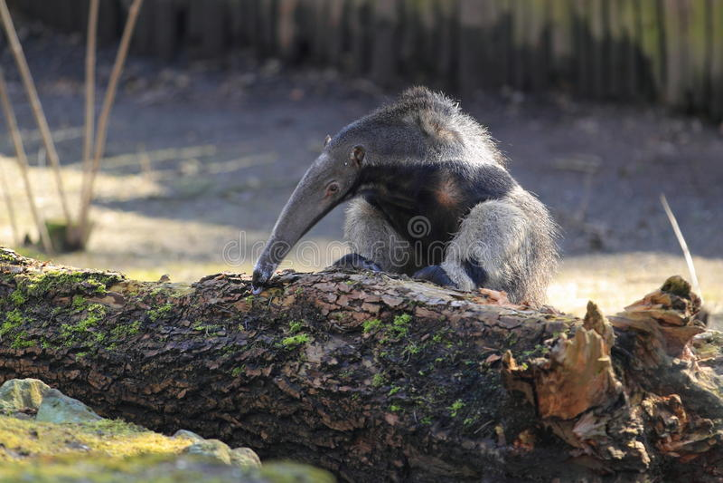 Jätte- anteater fotografering för bildbyråer