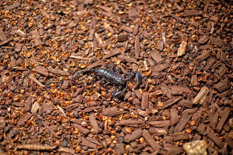 Jätte- asiat Forest Scorpion royaltyfria bilder