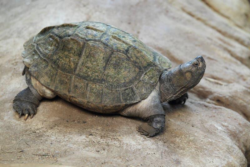 Jätte- asiatisk dammsköldpadda royaltyfria bilder