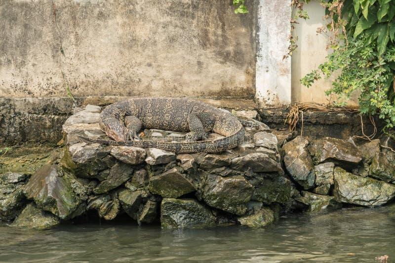 Jätte- Bangkok Khlong för bildskärmödla kanal royaltyfri foto