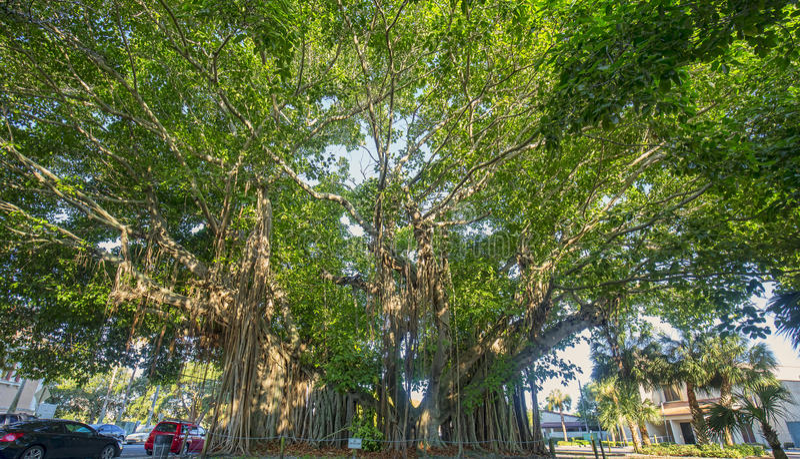 Jätte- banyanträd arkivbild
